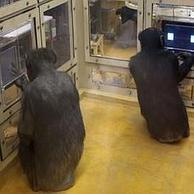 Los chimpancés vencen a los humanos en un juego matemático | acerca superdotación y talento | Scoop.it