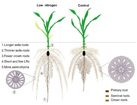 A comprehensive analysis of root morphological changes and nitrogen allocation in maize in response to low-nitrogen stress | Plant science | Scoop.it