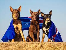 8 dogs who love being Australian on Australia Day | RH Newsroom | Scoop.it