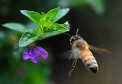 Mass extinction hit ancient bees at the same time as dinosaurs - GlobalPost | Global Warming | Scoop.it