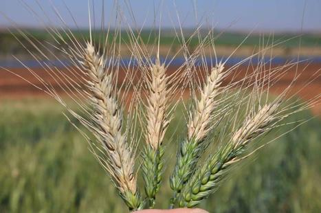 First report of blast disease on wheat in South Asia | Inspired | Scoop.it