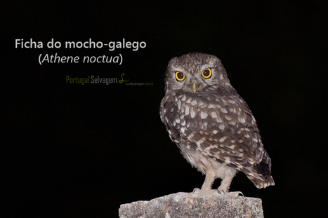 Mocho-galego (Athene noctua) | APOIO AO ESTUDO | Scoop.it