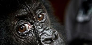 50% des primates dans le monde menacés d'extinction | Biodiversité & Relations Homme - Nature - Environnement : Un Scoop.it du Muséum de Toulouse | Scoop.it
