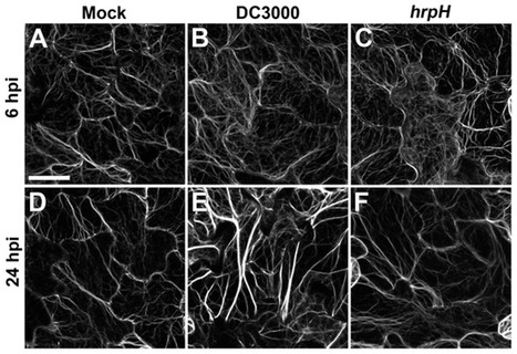 PLOS Pathogens: The Plant Actin Cytoskeleton Responds to Signals from Microbe-Associated Molecular Patterns (2013) | Effectors and Plant Immunity | Scoop.it