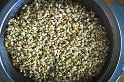 Sprouting buckwheat   Healthy Recipes and Tips for Healthy Living   Scoop.it