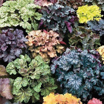 Newest Hybrids Heuchera Mix | Springhill Nursery Gardening | Scoop.it