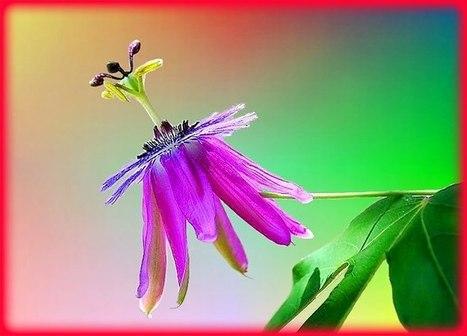 Passion Flower   Holistic & Alternative Health   Scoop.it