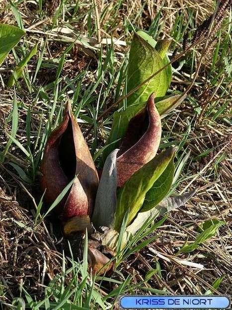 Photos de plante : Symplocarpe fétide - Chou Puant - Symplocarpus foetidus - Skunk cabbage | Faaxaal Forum Photos gratuite Faune et Flore | Scoop.it