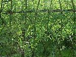 Tresser l'osier vivant pour décorer et aménager le jardin | Potager & Jardin | Scoop.it