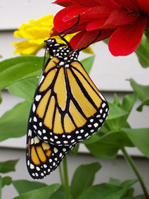 Monarch Larva Monitoring Project (MLMP) - Home | Pollinators: a plant focus, for backyards | Scoop.it