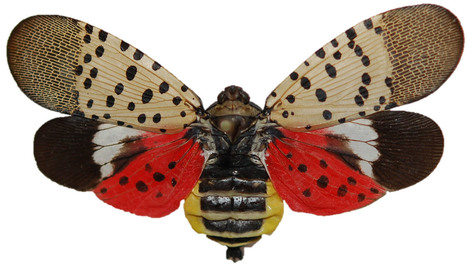 Spotted lanternfly (Lycorma delicatula): a new pest found in the USA | Pest Alerts | Scoop.it
