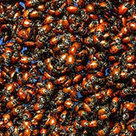Should I Purchase Ladybugs to Release in My Garden?   100 Acre Wood   Scoop.it