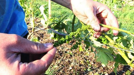 La grêle ravage une nouvelle fois les vignobles bourguignons | Le vin quotidien | Scoop.it
