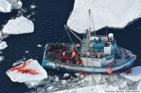 Graphic Video Of Annual Canadian Seal Hunt Released By Animal Rights Group | Animals R Us | Scoop.it
