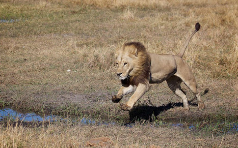 Rare Maned Lionesses Are Nature's Bearded Ladies | Animals R Us | Scoop.it
