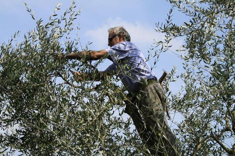 Are you an expatriate living in Le Marche? Do you keep Olive Trees? So this post is for You. | Le Marche another Italy | Scoop.it