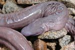 Man-aconda — the snake that looks like a penis | Quite Interesting News | Scoop.it