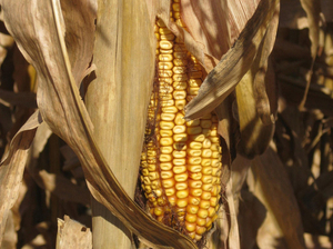 Insects Find Crack In Biotech Corn's Armor : NPR | Complex Insight  - Understanding our world | Scoop.it