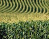 France definitively bans GM corn | Sustain Our Earth | Scoop.it