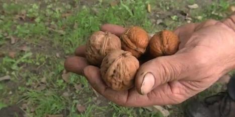 La récolte des noix de Grenoble commence - France 3 Alpes | Noix, noisettes, châtaignes | Scoop.it