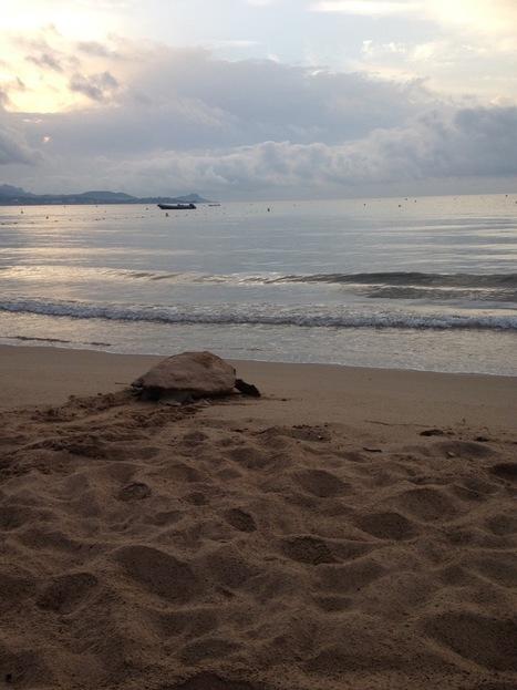 Var : Une tortue marine a pondu sur le sable de Saint-Aygulf | Zones humides - Ramsar - Océans | Scoop.it