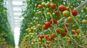 These Tomatoes Are Helping to Improve the Environment | Arrival Cities | Scoop.it