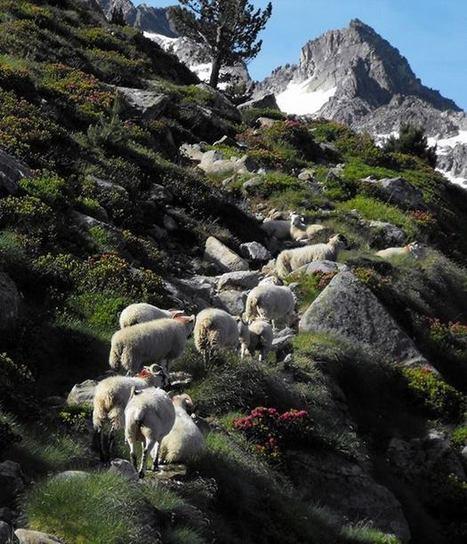 Les moutons dets Coubous - Marie Soleil - LES PYRENEES | Facebook | Vallée d'Aure - Pyrénées | Scoop.it