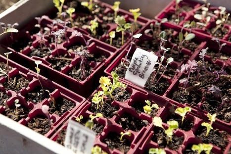 Seed to Plate: Edible Gardens in Small Spaces - Green Villages Sydney | School Kitchen Gardens | Scoop.it