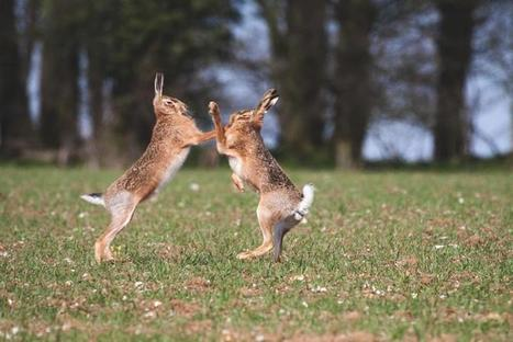 British hares | Discover Wildlife | Oceans and Wildlife | Scoop.it
