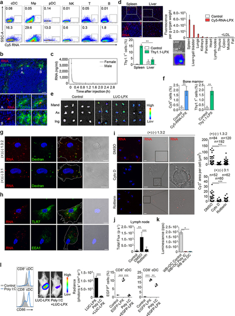 Systemic RNA delivery to dendritic cells exploits antiviral defense for cancer immunotherapy | Amazing Science | Scoop.it