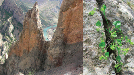 Ancient Flower Lives Only on Two Spanish Cliffs, and Uses Ants to Survive | All About Ants | Scoop.it