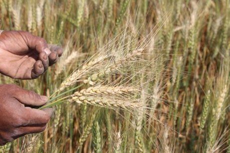 UK: Scientists issue rallying cry for wheat blast research | WHEAT | Scoop.it