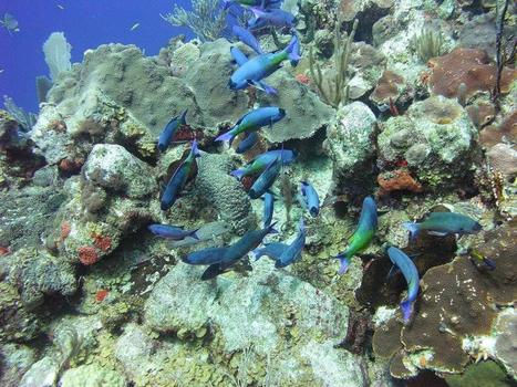 Older coral species more hardy, biologists say | Sustain Our Earth | Scoop.it