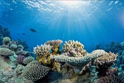 Australia's Great Barrier Reef could decline to less than 10 percent if ocean warming continues | Aquaponics~Aquaculture~Fish~Food | Scoop.it