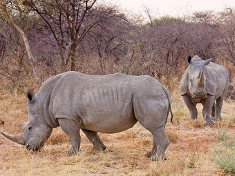 Dutch and Swedish lotteries make the largest donation ever ($21+ million) to fight rhino poaching | Marine Science and Conservation | Scoop.it