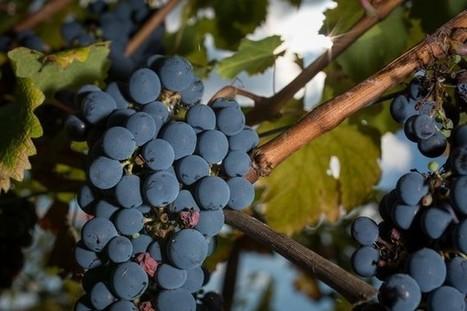 18/11/16 - Bouleversements climatiques : la vigne française doit s'adapter | INRA Montpellier | Scoop.it
