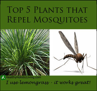 Top 5 Plants that Repel Mosquitoes - Healthy Holistic Living | Health and Wellness Digest | Scoop.it