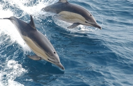 Rise in #Scottish #dolphin sightings to be studied, up by 68% in past 12yrs! v @sharontrys | Rescue our Ocean's & it's species from Man's Pollution! | Scoop.it