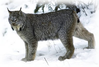 Wildlife: Are lynx holding their own? | GarryRogers Biosphere News | Scoop.it
