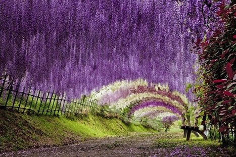 The Wisteria Flower Tunnel at Kawachi Fuji Garden | catnipoflife | Scoop.it