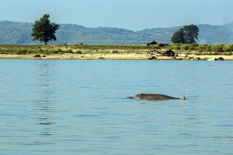 Survey to Highlight Ongoing Decline in Irrawaddy Dolphin Population | The Blog's Revue by OlivierSC | Scoop.it