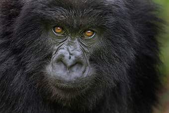 Gorillas in Rwanda Thwart Poachers by Dismantling Snares | Wildlife Trafficking: Who Does it? Allows it? | Scoop.it