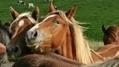 France Bleu | Loire : un cheval torturé à Usson-en-Forez | Cheval et Nature | Scoop.it