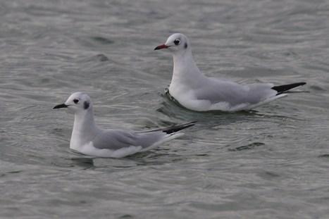 Bonaparte's Gull - Bamburgh, Northumberland, Tim Dean | Birding Britain & Ireland | Scoop.it