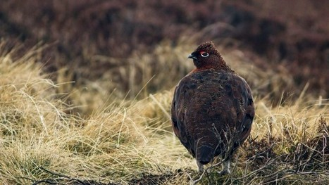 Driven Grouse Shooting - Implications for Upland Birds. - Conservation Articles & Blogs - CJ   Wildlife and Conservation   Scoop.it