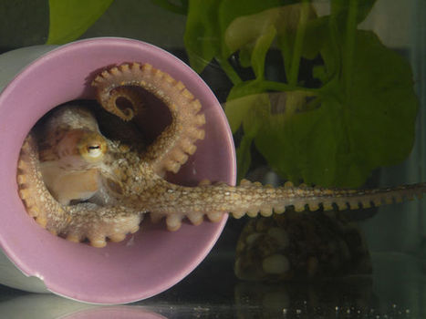 Octopus' sophistication driven by hundreds of previously unknown genes   IB Biology   Scoop.it