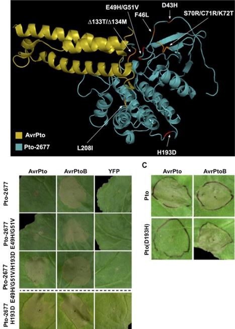 Molecular Plant:Natural variation in tomato reveals differences in the recognition of AvrPto and AvrPtoB effectors from Pseudomonas syringae (2016) | Plant-Microbe Interaction | Scoop.it
