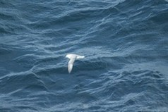 Sightings from MARINElife Survey Report: Immingham-Esbjerg, DFDS Seaways 'Jutlandia Seaways' 8th-11th October 2013 at MARINElife | Aquarium | Scoop.it