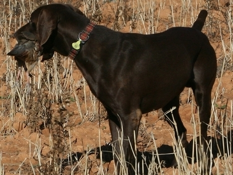 La dentadura de nuestros perros de caza | imagenesdeperros | Scoop.it