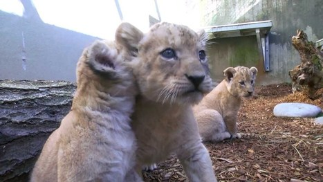 Cubs venture out | Oregon Zoo Babies | Scoop.it